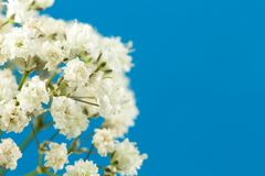 Piękny biały łyszczec paniculata odizolowywający obrazy stock