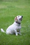 Piękny biały bassetta ogara mieszanki trakenu pies obraz stock