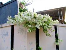Piękny biały bougainvillea drzewo w ogródzie Zdjęcia Royalty Free