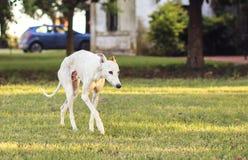 Piękny biały charci odprowadzenie na trawie obrazy stock