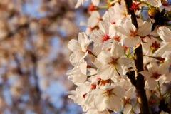 Piękny biały Czereśniowy okwitnięcie kwitnie gałąź w ogródzie z ładnym jasnym niebieskim niebem naturalnej wiosny sezonu festiwal zdjęcie stock