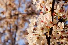 Piękny biały Czereśniowy okwitnięcie kwitnie gałąź w ogródzie z ładnym jasnym niebieskim niebem naturalnej wiosny sezonu festiwal zdjęcie royalty free