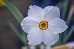 Piękny biały daffodil obraz stock
