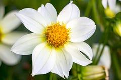 Piękny biały dalia kwiat Obrazy Royalty Free