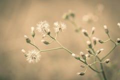 Biały dandelion Zdjęcia Stock