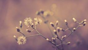 Biały dandelion Zdjęcie Royalty Free