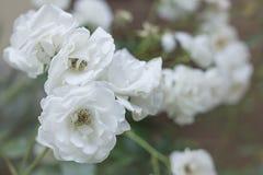 Piękny Biały Dziki Kameliowy kwiat rośliny bukiet Obraz Stock