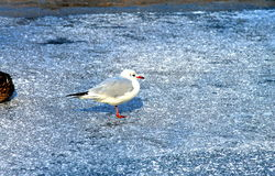 Piękny biały frajer na lodzie w zimie Zdjęcia Royalty Free