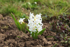 Piękny biały hiacynt w ogródzie zdjęcie royalty free