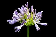 Piękny biały i miękki purpurowy agapanthus africanus kwiat odizolowywa na czarnym tle Fotografia Stock