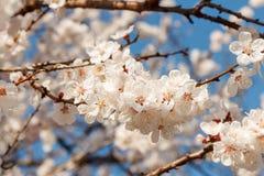 Pi?kny bia?y i r??owy kwiatono?ny czere?niowy drzewo t?o z kwitnieniem kwitnie w wiosna dniu zdjęcie stock