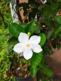 Piękny biały jaśmin kwitnie w ogródzie Zdjęcia Stock