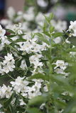 Piękny Biały Jaśminowy kwiat W ogródzie Zdjęcie Royalty Free