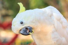 Piękny biały kakadu, Czubaty kakadu Zdjęcia Stock
