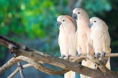 Piękny biały kakadu, Czubaty kakadu stoi na gałąź, (Cacatua galerita) obrazy stock