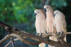 Piękny biały kakadu, Czubaty kakadu stoi na gałąź, (Cacatua galerita) zdjęcia stock