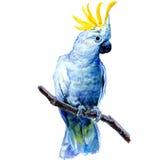 Piękny biały kakadu, Siarczany czubaty kakadu Obraz Royalty Free
