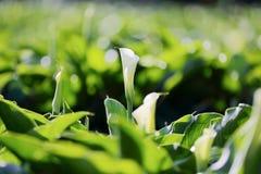 Piękny biały kalii lelui kwitnienie w wielkim ogródzie Zdjęcia Stock