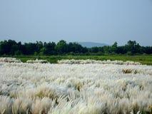 Piękny biały kash lub kans trawy kwiatów dorośnięcie na Indiańskim rzecznym łóżku z niebieskiego nieba tłem zdjęcie stock