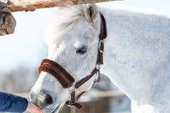 Piękny biały koń karmiący z rękami obrazy royalty free