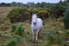 Piękny biały koń w Irlandia zdjęcia stock
