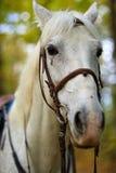 Piękny biały koń w lesie Zdjęcia Stock