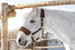 Piękny biały koń w pióra zakończeniu up zdjęcie royalty free