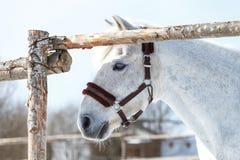 Piękny biały koń w piórze przy zmierzchu zakończeniem obrazy royalty free