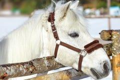 Piękny biały koń w piórze przy zmierzchu zakończeniem obraz stock