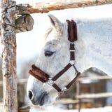 Piękny biały koń w piórze przy zmierzchu zakończeniem obraz royalty free