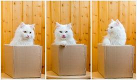 Piękny biały kot w pudełku Obrazy Stock