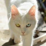 Piękny biały kot z Heterochromatic oczami obrazy stock