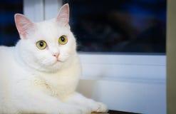 Piękny biały kota obsiadanie Zdjęcie Stock
