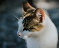 piękny biały kota zakończenie w górę portreta zdjęcie stock