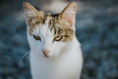 piękny biały kota zakończenie w górę portreta obraz stock