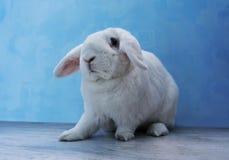 Piękny biały królik zdjęcia royalty free
