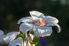 Piękny Biały kwiat Fotografia Royalty Free