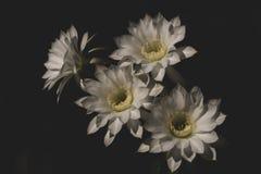 Piękny biały kwiat Kaktusowy Echinopsis kwitnienie na światło słoneczne dniu Zdjęcie Royalty Free