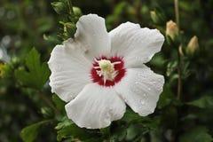 Piękny biały kwiat na zieleni opuszcza tło zdjęcia stock