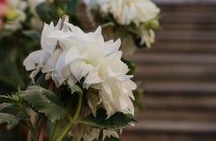 Piękny biały kwiat w ogródzie obraz royalty free