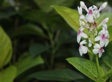 Piękny biały kwiat w ogródzie Fotografia Royalty Free