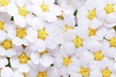 Piękny biały kwiatonośnego krzaka Spirea aguta Fotografia Royalty Free