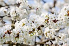 Piękny biały okwitnięcie w wiośnie plenerowej Obraz Royalty Free
