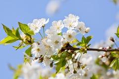 Piękny biały okwitnięcie w wiośnie plenerowej Zdjęcie Royalty Free