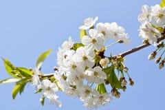 Piękny biały okwitnięcie w wiośnie plenerowej Fotografia Stock