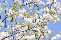Piękny biały okwitnięcie w wiośnie plenerowej Obrazy Stock