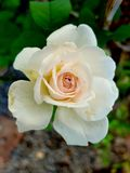Piękny biały okwitnięcie wzrastał w ogródzie obrazy royalty free
