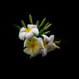 Piękny biały Plumeria Obrazy Stock