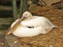 piękny biały ptak patrzeje w odległość, znacząco, spokojny, spokojny, śnieżnobiały, długi belfer, Obrazy Stock