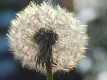 Piękny biały puszysty dandelion round Zdjęcie Royalty Free